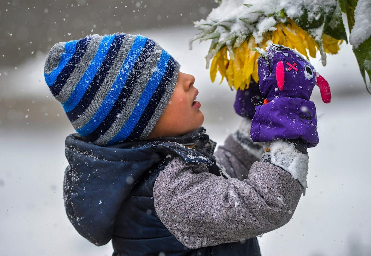 Connor Cruz, age 5, inspects snow laden sunflowers during a snow storm, Saturday, Sept. 28, 2019, in Great Falls, Mont.