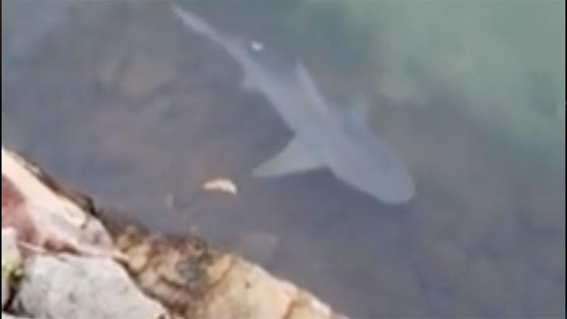 The sharks in this Sunshine Coast canal came as no surprise to locals.