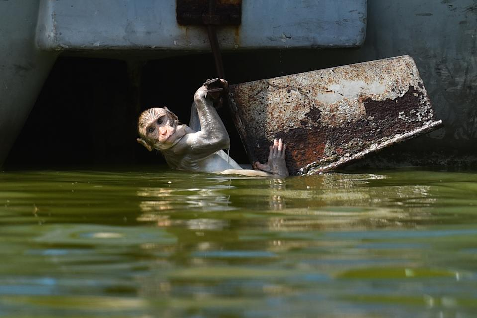 NEW DELHI, INDIA - JUNE 10: Macaque monkeys seen playing on a hot summer day at Boat Club on June 10, 2019 in New Delhi, India. The mercury shattered all records in Delhi NCR on Monday with parts of the national capital region recording an all-time high of 48 degrees Celsius for the month of June. (Photo by Sanchit Khanna/Hindustan Times via Getty Images)