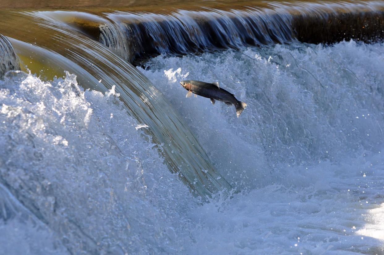 A spawning Trout trying to jump a dam on the Humber River, in downtown Toronto