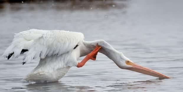 Naturalist Brian Keating thinks the injured pelican survived the winter by eating Prussian carp near the in-flow to Frank Lake that remains ice-free all year.