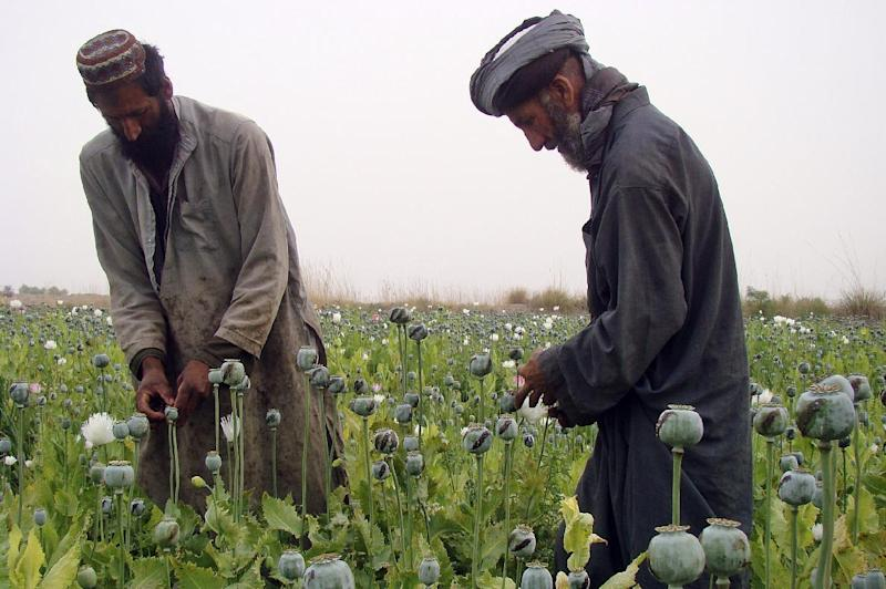 Afghan farmers harvest raw opium on a poppy field in the village of Bawri, outside of Lashkar Gah, Helmand, southern Afghanistan, Saturday, April 13, 2013. Opium poppy cultivation has been increasing for a third year in a row and is heading for a record high, the U.N. said in a report released Monday. Poppy cultivation is also dramatically increasing in areas of the southern Taliban heartland, the report showed, especially in regions where thousands of U.S.-led coalition troops have been withdrawn or are in the process of departing. The report indicates that whatever international efforts have been made to wean local farmers off the crop have failed. (AP Photo/Abdul Khaleq)