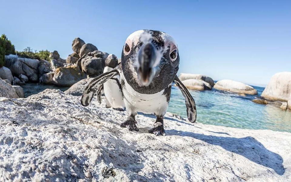 Penguins waddle out of the surf at Boulders Beach on the Cape Peninsula (also an amazing wine region) - MIKE KOROSTELEV