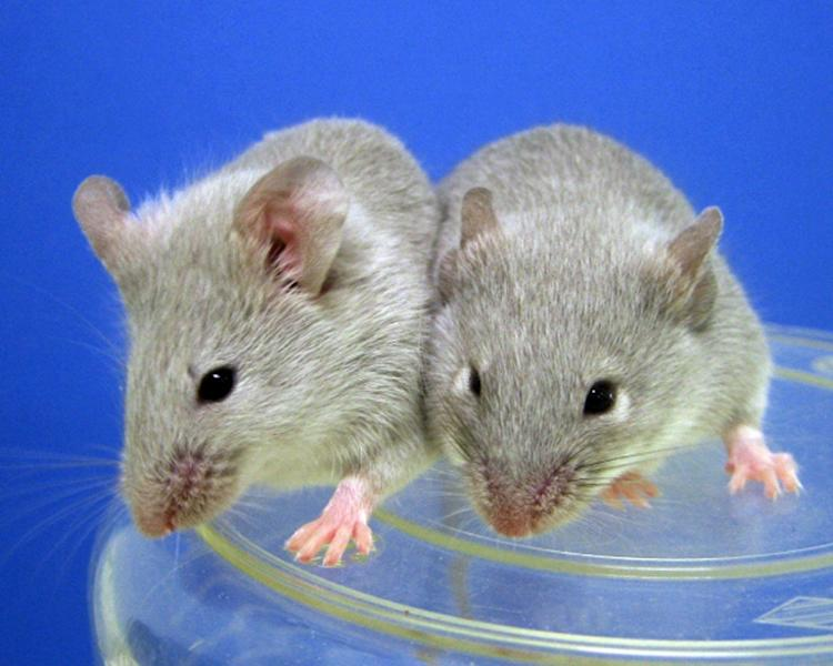 Female pairs of mice produced viable babies, whose offspring went on to have their own progeny
