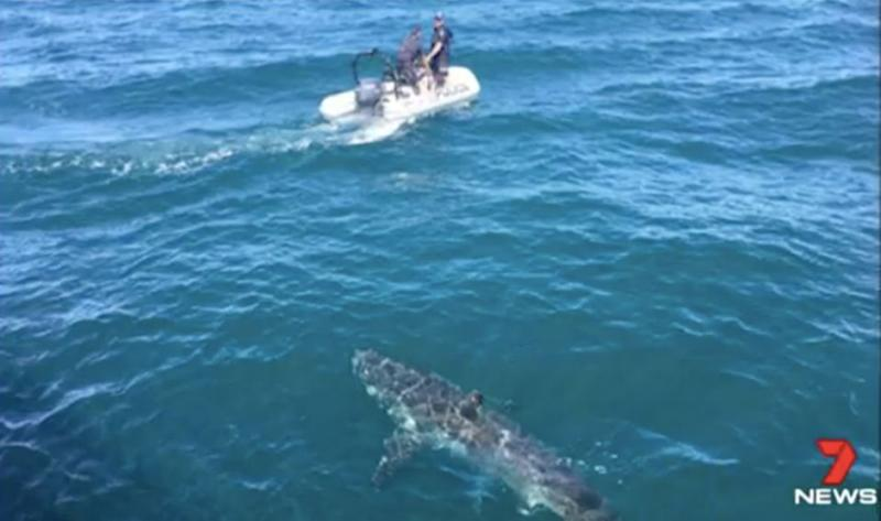 The shark hung around for 20 minutes. Source: 7 News