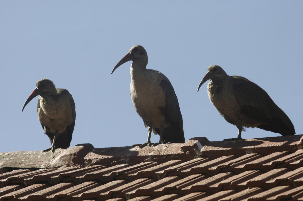 In this photo taken Thursday, June 6, 2013, three Hadeda Ibis birds sit atop a roof of a Johannesburg suburban home. Pest, charming oddity or just background noise, the Hadeda ibis is a feathered phenomenon in suburban South Africa. Sometimes it swipes dog food meant for pets, splatters parked cars and driveways with droppings and yanks residents from sleep with jarring squawks at first light. (AP Photo/Denis Farrell)