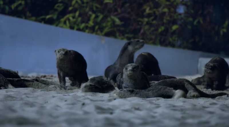 Smooth-coated otters in Singapore playing in sand at Gardens by the Bay in Netflix's Night On Earth nature documentary series. (Screengrab)