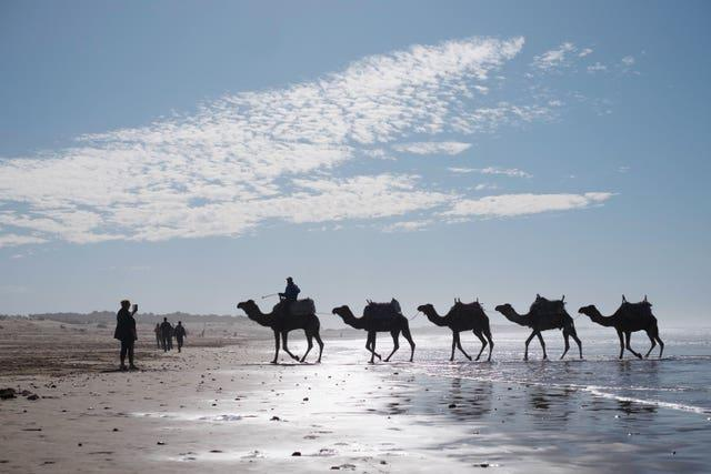 Camels are taken for a walk through the surf at the Moroccan coastal town of Essaouria