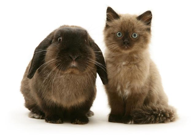 <p>Chocolate Birman-cross kitten with chocolate Lop rabbit. (Photo: Warren photographic/Caters News) </p>