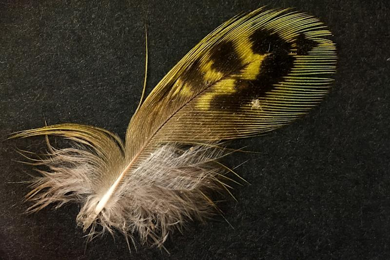 "Picture released by Australian Wildlife Conservancy on September 14, 2017 shows a feather from a ""night parrot"" which was found in South Australia, the first proof in more than a century that it lives there"