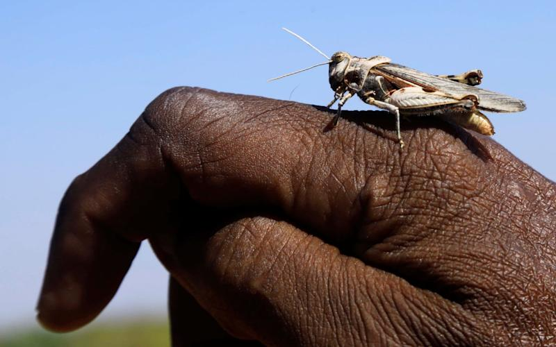 A desert locust lands on a farmer's hand in a grazing land on the outskirt of Dusamareb in Galmudug region - REUTERS