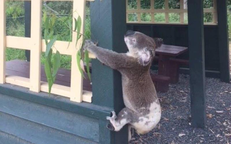 A dead koala was found screwed to a pole - REUTERS