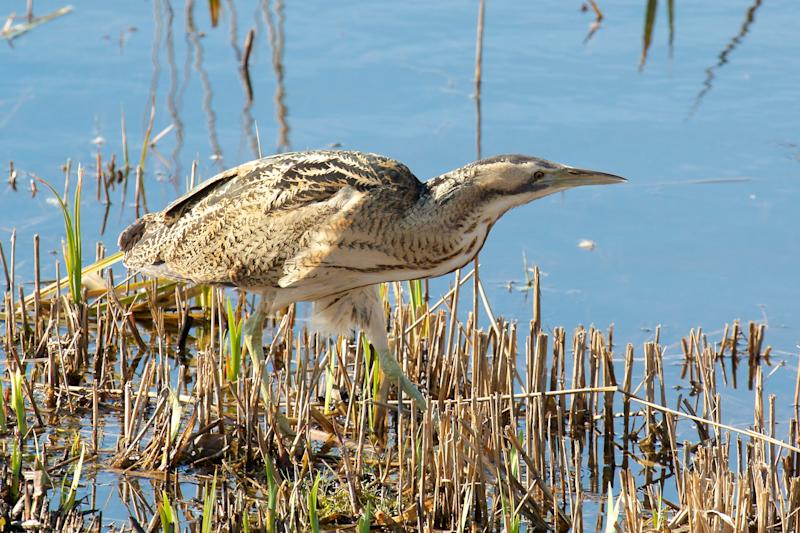 A Bittern hunting in the shallows of Minsmere - getty