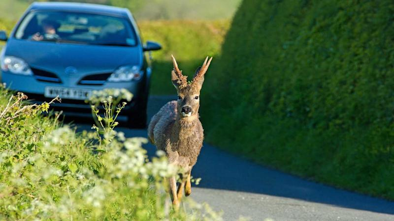 Deer running down the road followed by cautious driver in Holcombe Gloucestershire UK