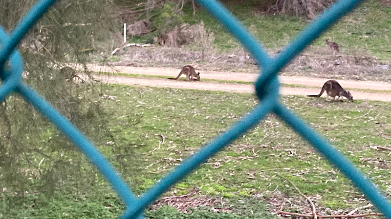 Looking through the holes in the wire fence at four kangaroos in the distance at Kinley.