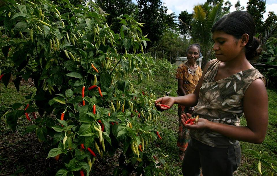 "<span class=""caption"">A woman in Timor-Leste surveys her chili crop.</span> <span class=""attribution""><span class=""source"">(Creative Commons)</span>, <a class=""link rapid-noclick-resp"" href=""http://creativecommons.org/licenses/by-sa/4.0/"" rel=""nofollow noopener"" target=""_blank"" data-ylk=""slk:CC BY-SA"">CC BY-SA</a></span>"