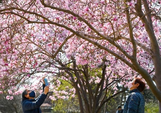 People photograph cherry blossom trees at Kariya Park during the COVID-19 pandemic in Mississauga, Ont., on Monday, April 19, 2021. THE CANADIAN PRESS/Nathan Denette