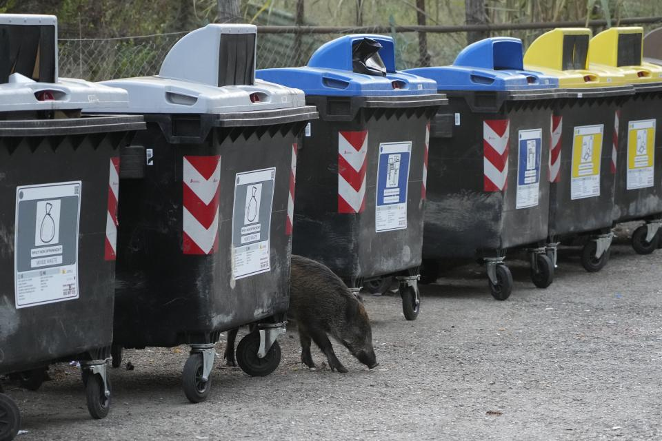 A wild boars strolls past trash bins in Rome, Friday, Sept. 24, 2021. They have become a daily sight in Rome, families of wild boars trotting down the city streets, sticking their snouts in the garbage looking for food. Rome's overflowing rubbish bins have been a magnet for the families of boars who emerge from the extensive parks surrounding the city to roam the streets scavenging for food. (AP Photo/Gregorio Borgia)