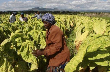 Farm workers harvest tobacco leaves at Nyamzura Farm in Odzi