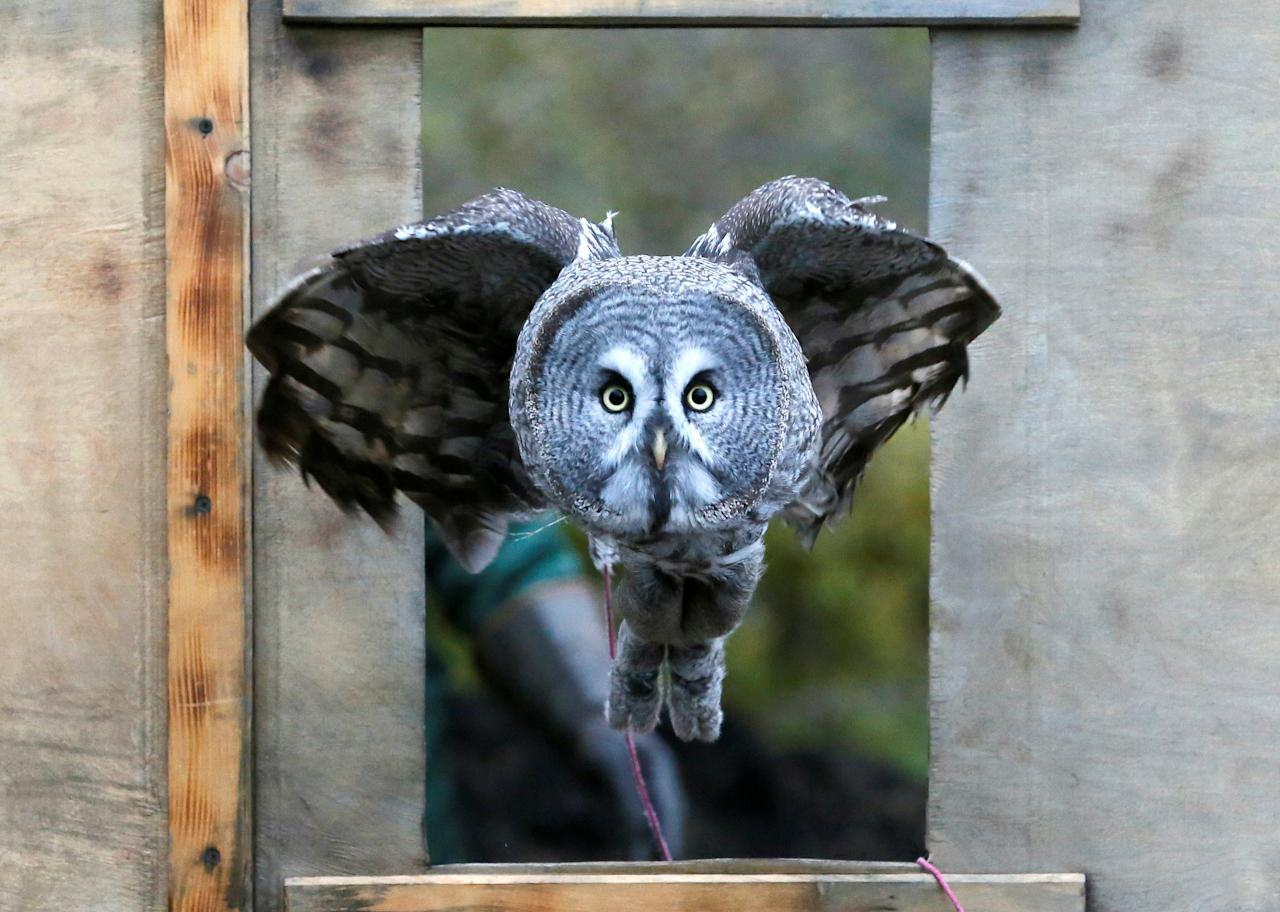 Mykh, a 1.5-year-old great gray owl, flies through a window during a training session which is a part of Royev Ruchey Zoo's programme of taming wild animals for research, education and interaction with visitors, in a suburb of the Siberian city of Krasnoyarsk, Russia October 17, 2017. REUTERS/Ilya Naymushin TPX IMAGES OF THE DAY