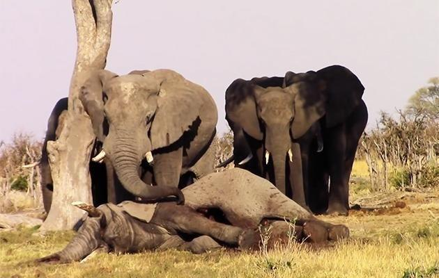 The herd of elephants refused to leave the deceased animal's side as one member said its goodbyes. Source: Storyful