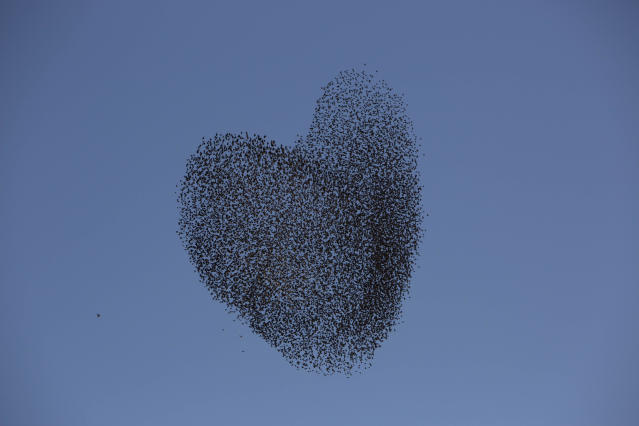 <p>A flock of migrating starlings flies over the southern Israeli village of Tidhar, Feb. 12, 2014. (Photo: Oded Balilty/AP) </p>