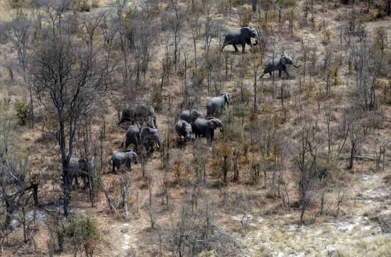 This aerial photograph shows elephants roaming in the plains of the Chobe district in the northern part of Botswana where officials say more than 100 elephants have died due to drought over the past two months