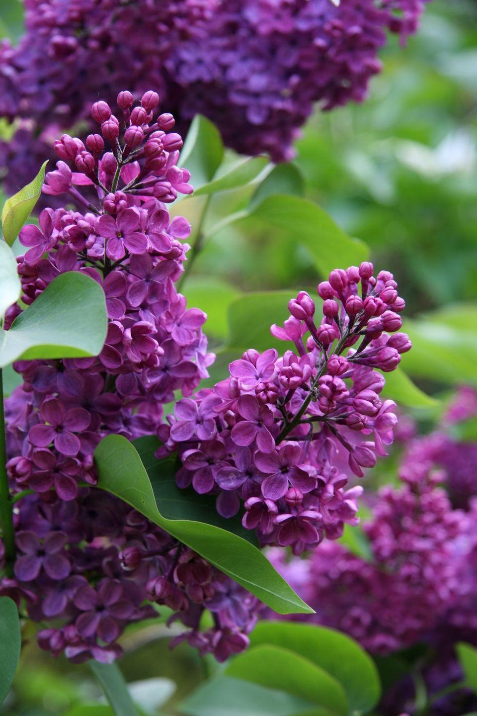 <p>The meaning of these gorgeous flowers varies depending on the hue. Purple lilacs represent the first emotions of love while magenta lilacs symbolize love and passion, perfect for a more serious lover. </p>