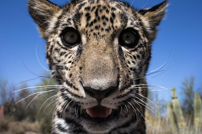 Tutu'uli, a 6-month old female jaguar is spotted at the Ecological Center of Sonora, Hermosillo, Mexico., March 19, 2017.