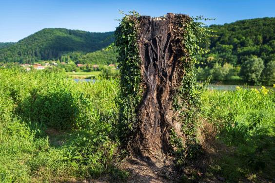 The charred remains of the tree trunk which served as a plinth for the statue of Melania Trump, made by artist Ales 'Maxi' Zupevc, pictured on 7 July, 2020. (JURE MAKOVEC/AFP via Getty Images)
