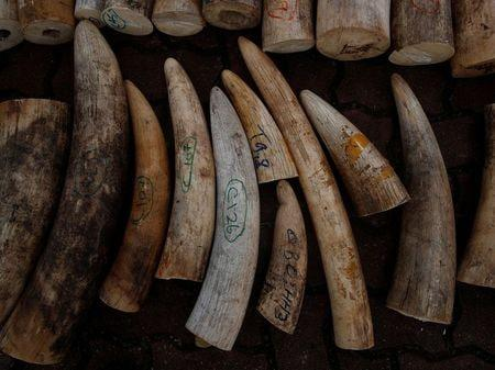 Singapore crushes ivory from around 300 elephants to deter illegal trade