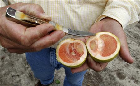 Citrus affected by 'greening', an insect-borne bacterial disease is shown in a laboratory at the U.S. Department of Agriculture's Horticultural Research Laboratory in Fort Pierce, Florida in this September 26, 2010, file photo. REUTERS/Joe Skipper/File