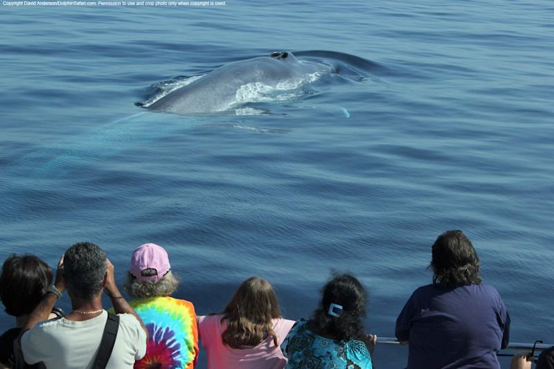 In an undated photo provided Monday, Aug. 21, 2012, by Captain David Anderson's Dolphin and Whale Safari in Dana Point, Calif., spectators watch whales off the coast of southern California. Endangered blue whales, the world's largest animals, are being seen in droves off the northern California coast, lured by an abundance of their favorite food _ shrimp-like creatures known as krill. Whale-watching tour operators are reporting a bumper harvest of blue whales, orcas, humpbacks and binocular-toting tourists eager to witness the coastal feeding frenzy. (AP Photo/ Captain David Anderson's Dolphin and Whale Safari)