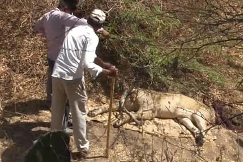 Another Lion Dies in Gir Forest, Death Toll Now 24