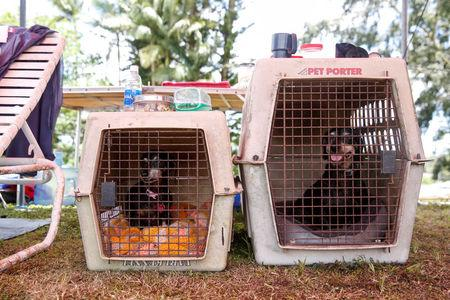 Two dogs named Bella and Bully wait in their crates at a Red Cross evacuation center in Pahoa during ongoing eruptions of the Kilauea Volcano in Hawaii, U.S., May 15, 2018.  REUTERS/Terray Sylvester