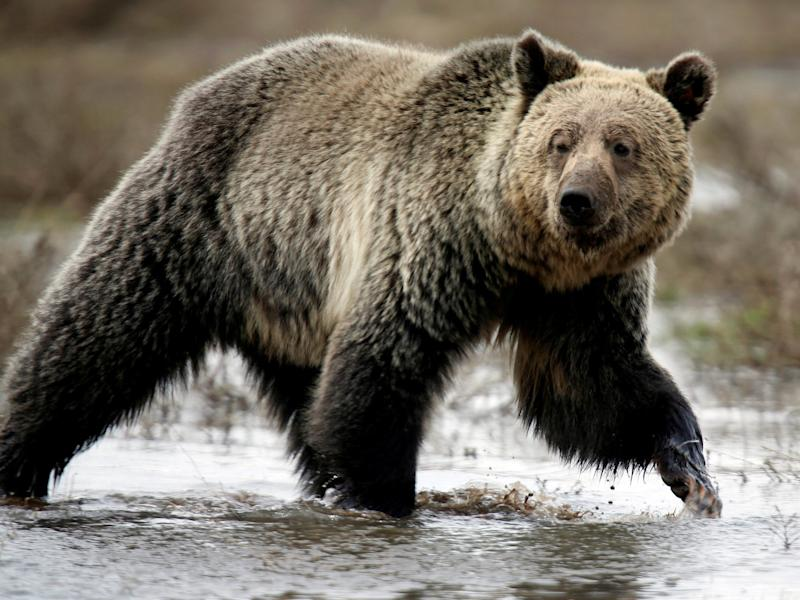 A grizzly bear roams through the Hayden Valley in Yellowstone National Park in Wyoming: Reuters