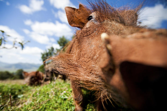 This family of warthogs regularly visited our campsite in the Ethiopian highlands, so I set up a camera with a wide-angle lens to photograph them as they rummaged for food. (Photo: Will Burrard-Lucas/Caters News)