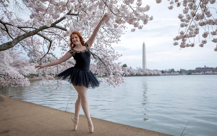Tutu-wearing ballet dancer Abby Thompson of Burke, Virginia, poses en pointe for her sister Katie while visiting the peak blooming cherry blossoms along the Tidal Basin in Washington, DC,  - SHUTTERSTOCK