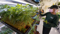 A worker arranges juvenile cannabis plants at the Greenleaf Medical Cannabis facility in Richmond, Va., Thursday, June 17, 2021. The date for legalizing marijuana possession is drawing near in Virginia, and advocacy groups have been flooded with calls from people trying to understand exactly what becomes legal in July. (AP Photo/Steve Helber)