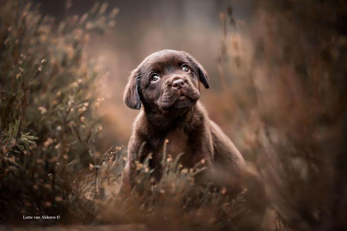 <p>Noah, a sweet dark-haired Labrador Retriever, was photographed outside during the winter as he ran around the wild plants.</p>