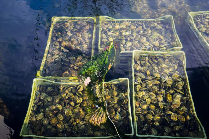 Native Oyster, seen here in baskets, boost wildlife and purify water (ZSL/PA)