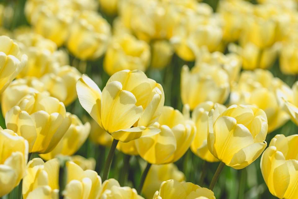 """<p>Spring might be a long way off, but there's nothing like some yellow tulips to get you in the mood for warmer weather. These gorgeous cheerful cup-shape blooms make a wonderful addition to spring borders, patio pot displays or a balcony. </p><p><a class=""""link rapid-noclick-resp"""" href=""""https://go.redirectingat.com?id=127X1599956&url=https%3A%2F%2Fwww.gardeningexpress.co.uk%2Ftulip-golden-apeldoorn-pack-of-12-bulbs&sref=https%3A%2F%2Fwww.countryliving.com%2Fuk%2Fhomes-interiors%2Fgardens%2Fg35147195%2Fflower-trends-2021%2F"""" rel=""""nofollow noopener"""" target=""""_blank"""" data-ylk=""""slk:BUY NOW VIA GARDENING EXPRESS"""">BUY NOW VIA GARDENING EXPRESS</a></p>"""