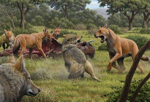 """<span class=""""caption"""">North America during the late Pleistocene: a pack of dire wolves (red hair) are feeding bison while a pair of grey wolves approach in the hopes of scavenging.</span> <span class=""""attribution""""><span class=""""source"""">Mauricio Antón</span>, <span class=""""license"""">Author provided</span></span>"""