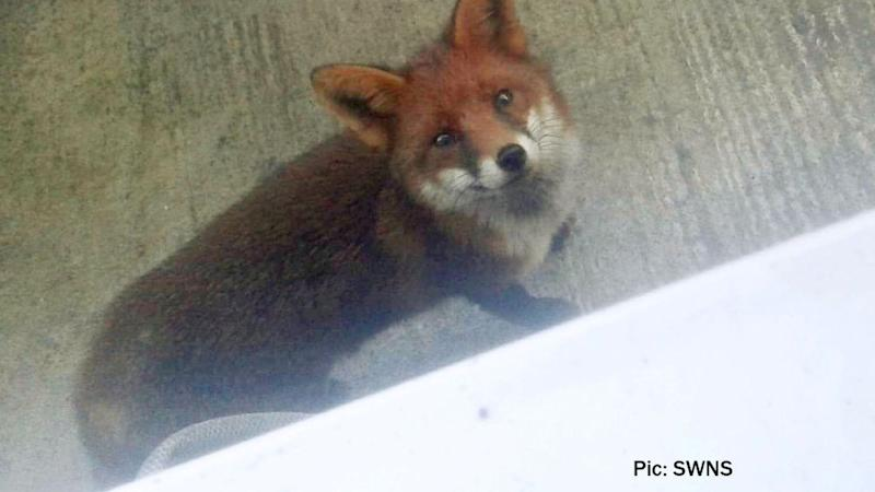 The fox sneaked into the Plymouth home where the family lives