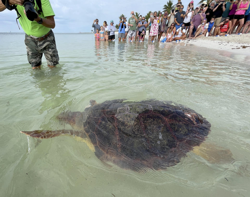 "In this photo provided by the Florida Keys News Bureau, ""Sparb,"" a sub-adult loggerhead sea turtle, swims away from Sombrero Beach after being released Thursday, April 22, 2021, in Marathon, Fla. The reptile was found off the Florida Keys in late January 2021 with severe wounds and absent a front right flipper. It was not expected to survive but was treated at the Keys-based Turtle Hospital with a blood transfusion, extensive wound care, broad-spectrum antibiotics, IV nutrition and laser therapy. The recovered turtle was returned to the wild in conjunction with Thursday's Earth Day celebrations. (Andy Newman/Florida Keys News Bureau via AP)"