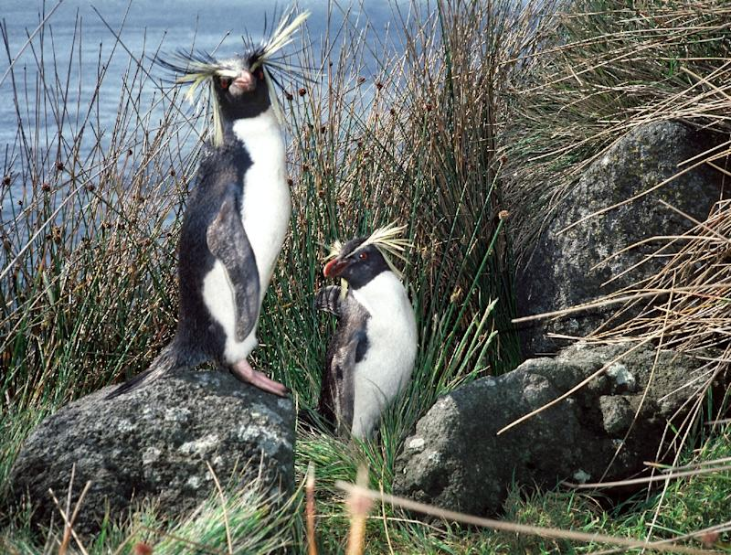 A group of southern rockhopper mums and dads were hundreds -- in one case thousands -- of kilometres (miles) away from each other when not making babies, says a study