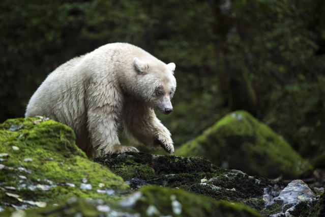 <p>An elusive Kermode bear in the Great Bear Rainforest in British Columbia, Canada. (Photo: Tom Svensson/Caters News) </p>