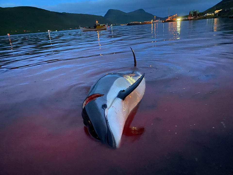In this image released by Sea Shepherd Conservation Society the carcass of a dead white-sided dolphin lays in the blood-stained shallows near a beach on the island of Eysturoy which is part of the Faeroe Islands Sunday Sept. 12, 2021. The dolphins were part of a slaughter of 1,428 white-sided dolphins that is part of a four-century-old traditional drive of sea mammals into shallow water where they are killed for their meat and blubber. (Sea Shepherd via AP)