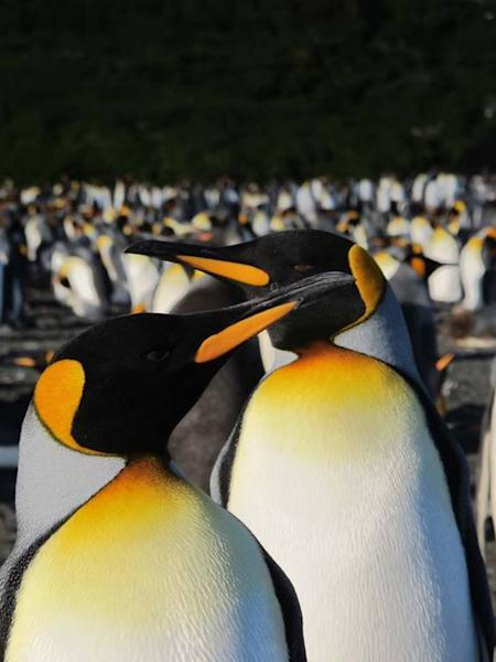 The king penguins come ashore on the sub-antarctic island to breed each year. Hundreds of the penguins waddle onto land to find a mate, and hopefully, make some chicks.