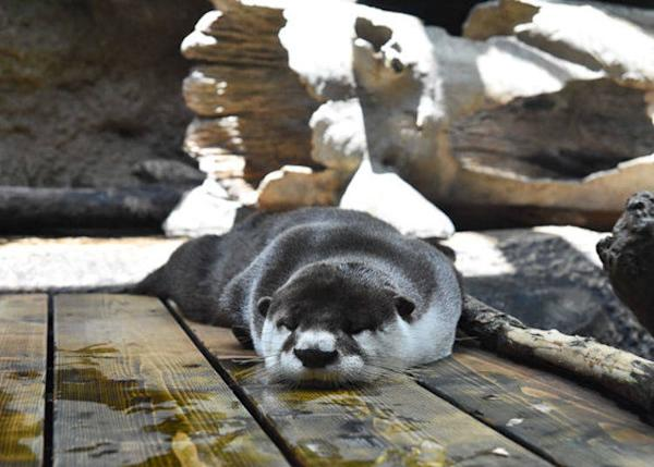 ▲ The African clawless otter joined the Africa area in November 2016. There are only three aquariums, including this one, in the country where these are exhibited.